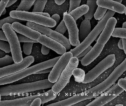 e coli immune system